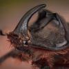 Vabalas raganosis - Oryctes nasicornis | Fotografijos autorius : Eugenijus Kavaliauskas | © Macrogamta.lt | Šis tinklapis priklauso bendruomenei kuri domisi makro fotografija ir fotografuoja gyvąjį makro pasaulį.