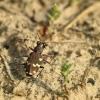 Baltalūpis šoklys - Cicindela hybrida | Fotografijos autorius : Vidas Brazauskas | © Macrogamta.lt | Šis tinklapis priklauso bendruomenei kuri domisi makro fotografija ir fotografuoja gyvąjį makro pasaulį.
