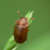 Žvilgvabalis - Epuraea sp. | Fotografijos autorius : Vidas Brazauskas | © Macrogamta.lt | Šis tinklapis priklauso bendruomenei kuri domisi makro fotografija ir fotografuoja gyvąjį makro pasaulį.