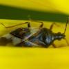 Vaismedinė žiedblakė - Anthocoris nemorum | Fotografijos autorius : Žilvinas Pūtys | © Macrogamta.lt | Šis tinklapis priklauso bendruomenei kuri domisi makro fotografija ir fotografuoja gyvąjį makro pasaulį.