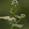 Vaistinė česnakūnė - Alliaria petiolata | Fotografijos autorius : Kęstutis Obelevičius | © Macrogamta.lt | Šis tinklapis priklauso bendruomenei kuri domisi makro fotografija ir fotografuoja gyvąjį makro pasaulį.
