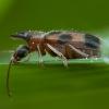 Vienaragis mitriavabalis - Notoxus monoceros | Fotografijos autorius : Žilvinas Pūtys | © Macrogamta.lt | Šis tinklapis priklauso bendruomenei kuri domisi makro fotografija ir fotografuoja gyvąjį makro pasaulį.
