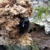 Violetinis juodvabalis - Platydema violaceum | Fotografijos autorius : Vitalii Alekseev | © Macrogamta.lt | Šis tinklapis priklauso bendruomenei kuri domisi makro fotografija ir fotografuoja gyvąjį makro pasaulį.