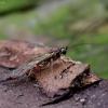 Vytis - Clistopyga rufator | Fotografijos autorius : Romas Ferenca | © Macrogamta.lt | Šis tinklapis priklauso bendruomenei kuri domisi makro fotografija ir fotografuoja gyvąjį makro pasaulį.
