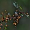 Zyboldo obelis - Malus sieboldii   Fotografijos autorius : Kęstutis Obelevičius   © Macrogamta.lt   Šis tinklapis priklauso bendruomenei kuri domisi makro fotografija ir fotografuoja gyvąjį makro pasaulį.