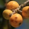 Japoninė lokva - Eriobotrya japonica   Fotografijos autorius : Gintautas Steiblys   © Macrogamta.lt   Šis tinklapis priklauso bendruomenei kuri domisi makro fotografija ir fotografuoja gyvąjį makro pasaulį.
