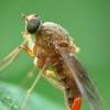 Slankmusė - Chrysopilus luteolus | Fotografijos autorius : Vidas Brazauskas | © Macrogamta.lt | Šis tinklapis priklauso bendruomenei kuri domisi makro fotografija ir fotografuoja gyvąjį makro pasaulį.