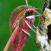 Pievinis sfinksas - Deilephila elpenor  | Fotografijos autorius : Gintautas Steiblys | © Macrogamta.lt | Šis tinklapis priklauso bendruomenei kuri domisi makro fotografija ir fotografuoja gyvąjį makro pasaulį.