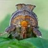 Žaliasis juostuotasis žvilgūnas - Diachrysia tutti (=stenochrysis) (portretas) | Fotografijos autorius : Gintautas Steiblys | © Macrogamta.lt | Šis tinklapis priklauso bendruomenei kuri domisi makro fotografija ir fotografuoja gyvąjį makro pasaulį.
