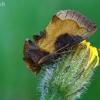 Žaliasis juostuotasis žvilgūnas - Diachrysia tutti (=stenochrysis) | Fotografijos autorius : Gintautas Steiblys | © Macrogamta.lt | Šis tinklapis priklauso bendruomenei kuri domisi makro fotografija ir fotografuoja gyvąjį makro pasaulį.