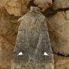 Plėšrusis vėlyvis - Eupsilia transversa  | Fotografijos autorius : Gintautas Steiblys | © Macrogamta.lt | Šis tinklapis priklauso bendruomenei kuri domisi makro fotografija ir fotografuoja gyvąjį makro pasaulį.