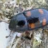 Žvilgvabalis - Glischrochilus hortensis | Fotografijos autorius : Gintautas Steiblys | © Macrogamta.lt | Šis tinklapis priklauso bendruomenei kuri domisi makro fotografija ir fotografuoja gyvąjį makro pasaulį.