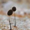 Juodasis kuodelis - Comatricha nigra | Fotografijos autorius : Gintautas Steiblys | © Macrogamta.lt | Šis tinklapis priklauso bendruomenei kuri domisi makro fotografija ir fotografuoja gyvąjį makro pasaulį.