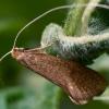 Ilgaūsė makštinė kandis - Nematopogon sp.    Fotografijos autorius : Gintautas Steiblys   © Macrogamta.lt   Šis tinklapis priklauso bendruomenei kuri domisi makro fotografija ir fotografuoja gyvąjį makro pasaulį.