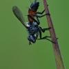Dygliamusė - Cylindromyia sp. | Fotografijos autorius : Gintautas Steiblys | © Macrogamta.lt | Šis tinklapis priklauso bendruomenei kuri domisi makro fotografija ir fotografuoja gyvąjį makro pasaulį.
