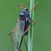 Amaras - Cinara piceae | Fotografijos autorius : Gintautas Steiblys | © Macrogamta.lt | Šis tinklapis priklauso bendruomenei kuri domisi makro fotografija ir fotografuoja gyvąjį makro pasaulį.