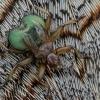Čiurlinė musė siurbikė - Crataerina pallida | Fotografijos autorius : Gintautas Steiblys | © Macrogamta.lt | Šis tinklapis priklauso bendruomenei kuri domisi makro fotografija ir fotografuoja gyvąjį makro pasaulį.
