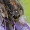 Įvairiaspalvė žolblakė - Lygus rugulipennis  | Fotografijos autorius : Gintautas Steiblys | © Macrogamta.lt | Šis tinklapis priklauso bendruomenei kuri domisi makro fotografija ir fotografuoja gyvąjį makro pasaulį.