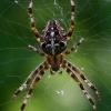 Paprastasis kryžiuotis - Araneus diadematus  | Fotografijos autorius : Gintautas Steiblys | © Macrogamta.lt | Šis tinklapis priklauso bendruomenei kuri domisi makro fotografija ir fotografuoja gyvąjį makro pasaulį.