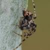 Dviskiautis šeriuotvoris - Ero furcata | Fotografijos autorius : Gintautas Steiblys | © Macrogamta.lt | Šis tinklapis priklauso bendruomenei kuri domisi makro fotografija ir fotografuoja gyvąjį makro pasaulį.