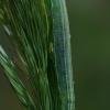 Satyriuko (Coenonympha sp.) vikšras ?  | Fotografijos autorius : Gintautas Steiblys | © Macrogamta.lt | Šis tinklapis priklauso bendruomenei kuri domisi makro fotografija ir fotografuoja gyvąjį makro pasaulį.