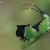 Didysis dviuodegis - Cerura vinula- vikšras | Fotografijos autorius : Gintautas Steiblys | © Macrogamta.lt | Šis tinklapis priklauso bendruomenei kuri domisi makro fotografija ir fotografuoja gyvąjį makro pasaulį.