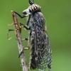 Žabalis - Haematopota pluvialis  | Fotografijos autorius : Gintautas Steiblys | © Macrogamta.lt | Šis tinklapis priklauso bendruomenei kuri domisi makro fotografija ir fotografuoja gyvąjį makro pasaulį.