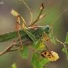 Žaliasis žiogas - Tettigonia viridissima   Fotografijos autorius : Gintautas Steiblys   © Macrogamta.lt   Šis tinklapis priklauso bendruomenei kuri domisi makro fotografija ir fotografuoja gyvąjį makro pasaulį.