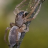Maišiavoris - Clubiona sp. | Fotografijos autorius : Gintautas Steiblys | © Macrogamta.lt | Šis tinklapis priklauso bendruomenei kuri domisi makro fotografija ir fotografuoja gyvąjį makro pasaulį.
