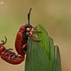 Svogūninis čiuželis - Lilioceris merdigera | Fotografijos autorius : Gintautas Steiblys | © Macrogamta.lt | Šis tinklapis priklauso bendruomenei kuri domisi makro fotografija ir fotografuoja gyvąjį makro pasaulį.