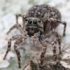 Plaukuotasis dėmėtšoklis - Sittipub pubescens  | Fotografijos autorius : Gintautas Steiblys | © Macrogamta.lt | Šis tinklapis priklauso bendruomenei kuri domisi makro fotografija ir fotografuoja gyvąjį makro pasaulį.