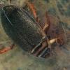 Rudoji dusia - Acilius canaliculatus | Fotografijos autorius : Gintautas Steiblys | © Macrogamta.lt | Šis tinklapis priklauso bendruomenei kuri domisi makro fotografija ir fotografuoja gyvąjį makro pasaulį.