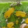 Oleandriniai amarai - Aphis nerii   Fotografijos autorius : Gintautas Steiblys   © Macrogamta.lt   Šis tinklapis priklauso bendruomenei kuri domisi makro fotografija ir fotografuoja gyvąjį makro pasaulį.