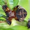 Nendrinis žnypliavoris - Larinioides cornutus   Fotografijos autorius : Gintautas Steiblys   © Macrogamta.lt   Šis tinklapis priklauso bendruomenei kuri domisi makro fotografija ir fotografuoja gyvąjį makro pasaulį.