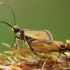 Purieninės kandys - Micropterix calthella  | Fotografijos autorius : Gintautas Steiblys | © Macrogamta.lt | Šis tinklapis priklauso bendruomenei kuri domisi makro fotografija ir fotografuoja gyvąjį makro pasaulį.