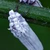 Skydamaris - Orthezia urticae ?  | Fotografijos autorius : Gintautas Steiblys | © Macrogamta.lt | Šis tinklapis priklauso bendruomenei kuri domisi makro fotografija ir fotografuoja gyvąjį makro pasaulį.