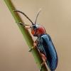 Raudonkrūtis smilginukas - Oulema melanopus | Fotografijos autorius : Gintautas Steiblys | © Macrogamta.lt | Šis tinklapis priklauso bendruomenei kuri domisi makro fotografija ir fotografuoja gyvąjį makro pasaulį.