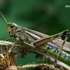 Viksvinis skėrys - Stethophyma grossum | Fotografijos autorius : Gintautas Steiblys | © Macrogamta.lt | Šis tinklapis priklauso bendruomenei kuri domisi makro fotografija ir fotografuoja gyvąjį makro pasaulį.
