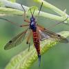 Ilgakojis uodas - Tanyptera nigricornis  | Fotografijos autorius : Gintautas Steiblys | © Macrogamta.lt | Šis tinklapis priklauso bendruomenei kuri domisi makro fotografija ir fotografuoja gyvąjį makro pasaulį.
