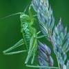 Žaliasis žiogas - Tettigonia viridissima, nimfa    Fotografijos autorius : Gintautas Steiblys   © Macrogamta.lt   Šis tinklapis priklauso bendruomenei kuri domisi makro fotografija ir fotografuoja gyvąjį makro pasaulį.