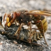 Širšuolas - Vespa crabro su savo auka Sparva - Tabanus sp.  | Fotografijos autorius : Gintautas Steiblys | © Macrogamta.lt | Šis tinklapis priklauso bendruomenei kuri domisi makro fotografija ir fotografuoja gyvąjį makro pasaulį.