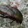 Dėmėtasis auksavabalis - Protaetia (=Netocia) cuprea  | Fotografijos autorius : Gintautas Steiblys | © Macrogamta.lt | Šis tinklapis priklauso bendruomenei kuri domisi makro fotografija ir fotografuoja gyvąjį makro pasaulį.