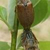 Paprastieji grambuoliai - Melolontha melolontha  | Fotografijos autorius : Gintautas Steiblys | © Macrogamta.lt | Šis tinklapis priklauso bendruomenei kuri domisi makro fotografija ir fotografuoja gyvąjį makro pasaulį.