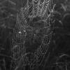 Paprastojo kryžiuočio - Araneus diadematus gaudomasis tinklas | Fotografijos autorius : Gintautas Steiblys | © Macrogamta.lt | Šis tinklapis priklauso bendruomenei kuri domisi makro fotografija ir fotografuoja gyvąjį makro pasaulį.