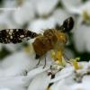 Margasparnė - Oxyna flavipennis    Fotografijos autorius : Gintautas Steiblys   © Macrogamta.lt   Šis tinklapis priklauso bendruomenei kuri domisi makro fotografija ir fotografuoja gyvąjį makro pasaulį.
