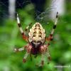 Araneus marmoreus - Marmurinis kryžiuotis | Fotografijos autorius : Algirdas Vilkas | © Macrogamta.lt | Šis tinklapis priklauso bendruomenei kuri domisi makro fotografija ir fotografuoja gyvąjį makro pasaulį.