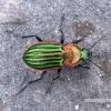 Carabus nitens - Žalvarinis puošniažygis | Fotografijos autorius : Algirdas Vilkas | © Macrogamta.lt | Šis tinklapis priklauso bendruomenei kuri domisi makro fotografija ir fotografuoja gyvąjį makro pasaulį.