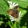 Panemeria tenebrata - Mažasis žliūginukas | Fotografijos autorius : Algirdas Vilkas | © Macrogamta.lt | Šis tinklapis priklauso bendruomenei kuri domisi makro fotografija ir fotografuoja gyvąjį makro pasaulį.