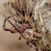 Nendrinis žnypliavoris - Larinioides cornutus   Fotografijos autorius : Algirdas Vilkas   © Macrogamta.lt   Šis tinklapis priklauso bendruomenei kuri domisi makro fotografija ir fotografuoja gyvąjį makro pasaulį.