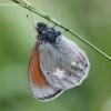 Coenonympha glycerion - Tamsusis satyriukas | Fotografijos autorius : Algirdas Vilkas | © Macrogamta.lt | Šis tinklapis priklauso bendruomenei kuri domisi makro fotografija ir fotografuoja gyvąjį makro pasaulį.